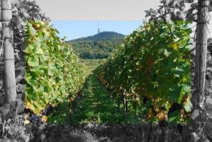 Weine aus Baden – Rebenvielfalt zwischen Schwarzwald und Vogesen